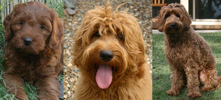 labradoodles colour red